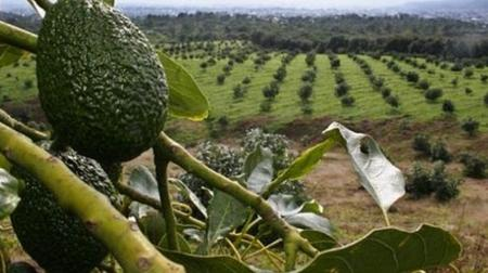 oro-verde-bosques-de-guacamole_large