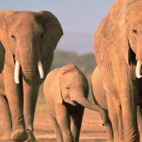 elefantes_paseando-1400x1050-960x623